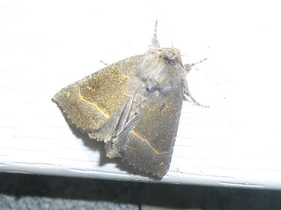 North-central Ohio Moth ID Request. - Papaipema nebris