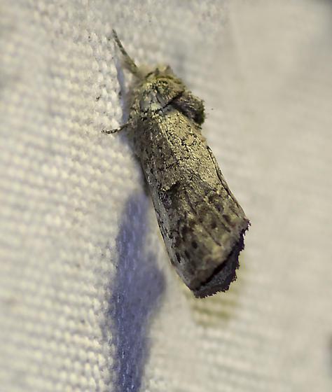 unknown moth - Schizura