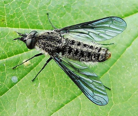 fuzzy fly - Aldrichia ehrmanii