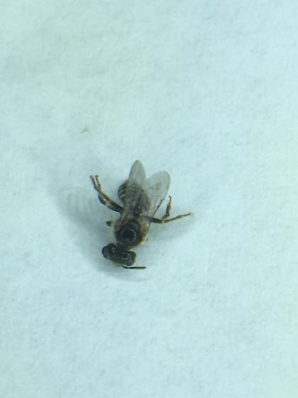 Bee collected from monkeyflower - Calliopsis