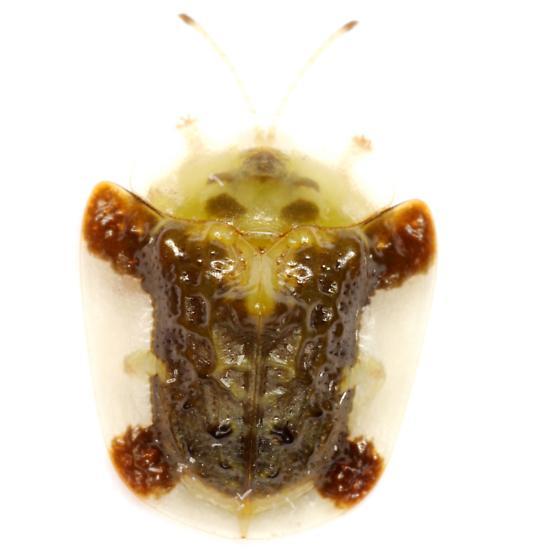 Plagiometriona clavata (Fabricius) - Plagiometriona clavata