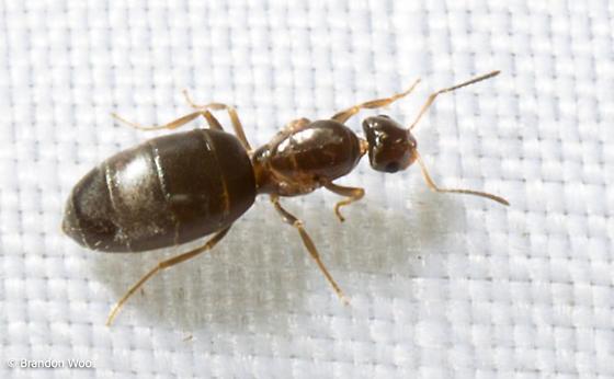 Brachymyrmex patagonicus - female