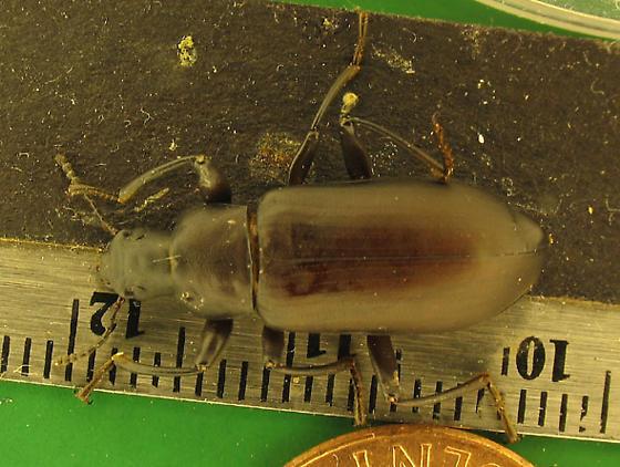 Alobates pennsylvanica imago - Alobates pensylvanicus