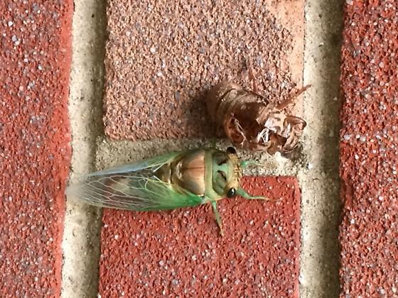 Cicada Pic - Neotibicen tibicen