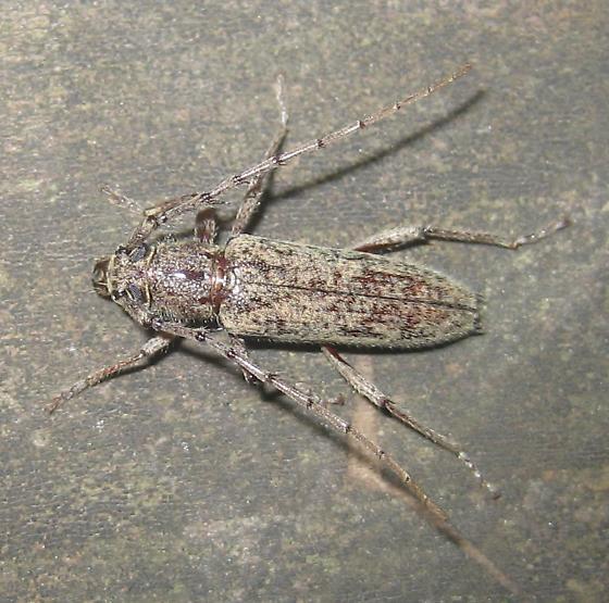 Cerambycid - Elaphidion mucronatum