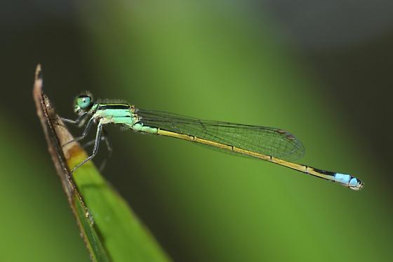Rambur's Forktail  Male-like - Ischnura ramburii - female