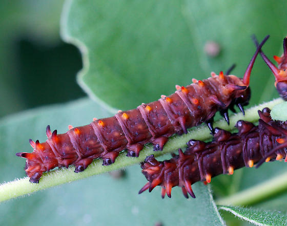 maroon caterpillar - Battus philenor