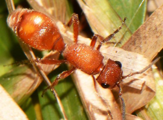 Dasymutilla macilenta  - Dasymutilla macilenta - female