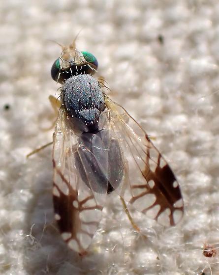 T. vicina - Trupanea vicina