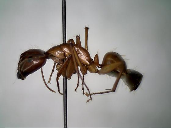 26Jun2017.UF.CB.hymen1 - Camponotus castaneus - female