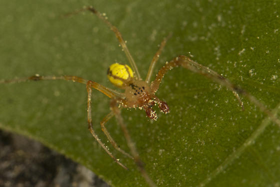 spider - Theridion