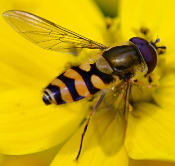 Syrphidae - which? - Syrphus - male