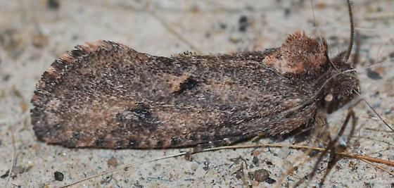 moth - Acrolophus kearfotti