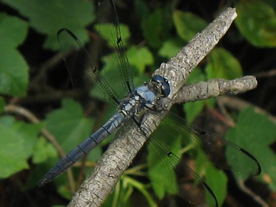 Dragonfly 7 - Libellula axilena - male