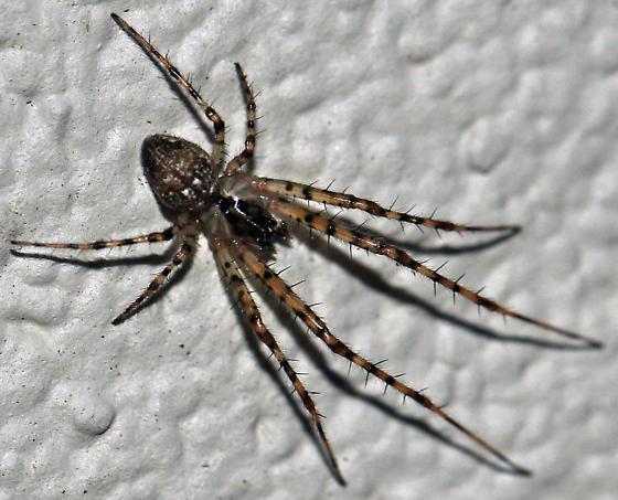 Pirate Spider Pirate spider?