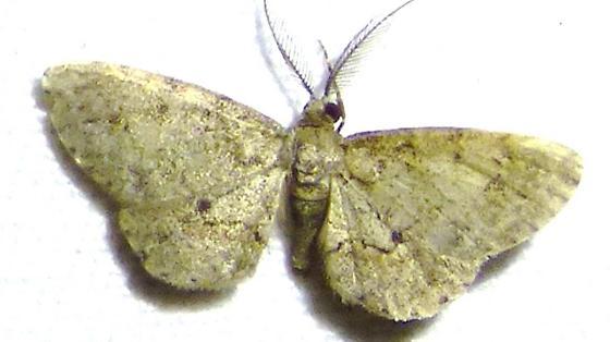 unknown moth - Glenoides texanaria - male