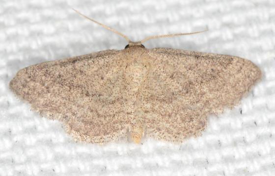 Lobocleta ossularia - Drab Brown Wave - Lobocleta ossularia