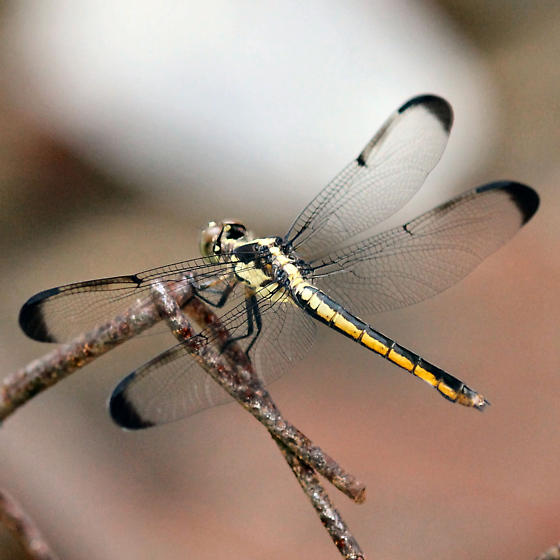 Great Blue Skimmer - Left Dorsal - Libellula vibrans - female