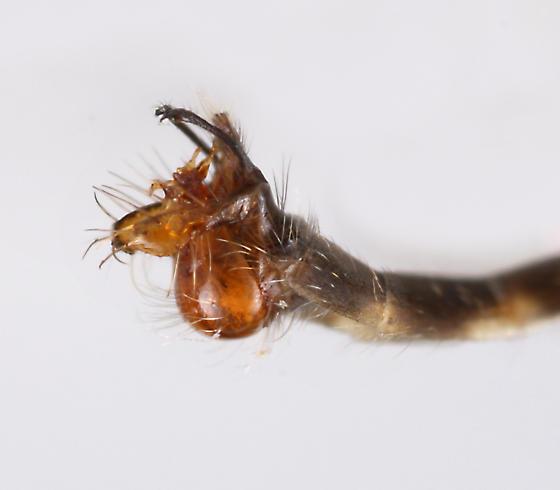 BG1591 E1137 - Psilonyx annulatus - male