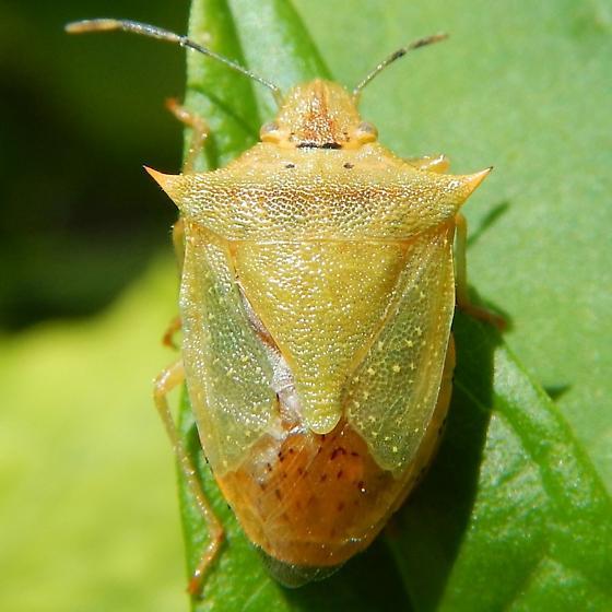 bug - Thyanta perditor