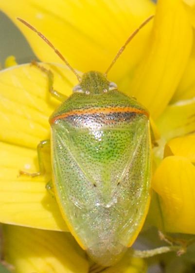 Small Green Stink Bug? - Piezodorus guildinii