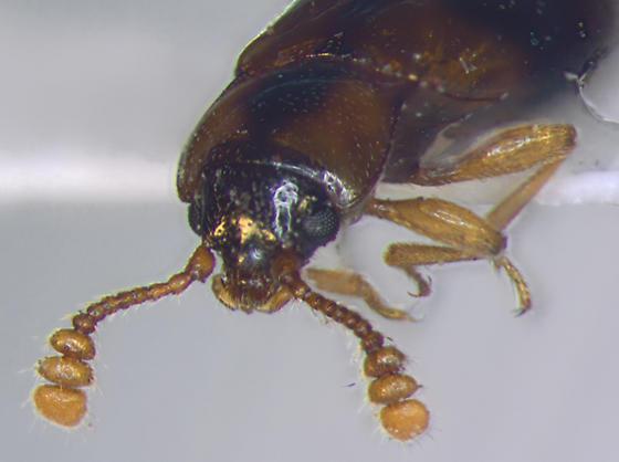 Endomychidae, head - Phymaphora pulchella - female