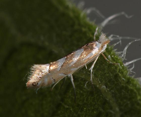 Micro Moth - Phyllonorycter