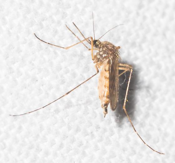 2018-10-07 Autumn mosquito - Aedes vexans - female