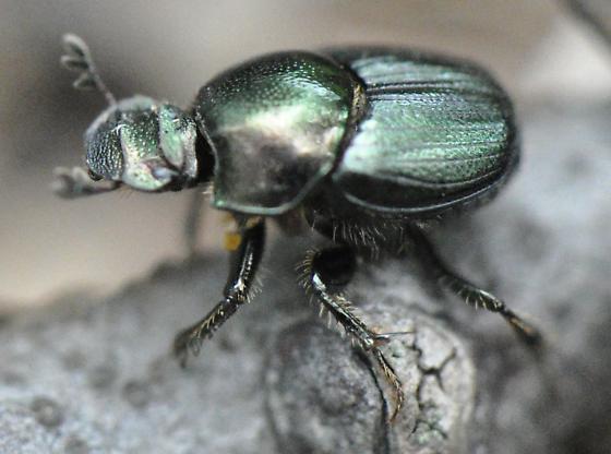 Unknown Scarab - Onthophagus orpheus