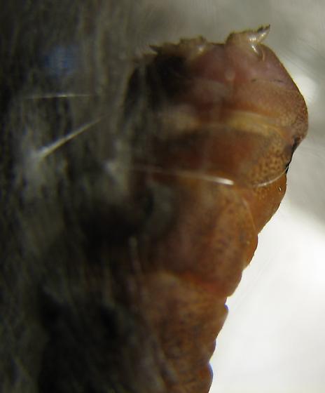 Western Tiger Swallowtail - building loop to hold chrysalid - Papilio eurymedon