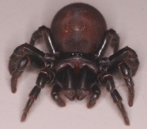 Cork-lid trapdoor spider? - Sphodros rufipes