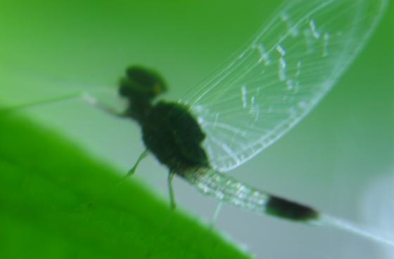 Small winged insect, aphid size with long tail that splits into two hairlike filiments