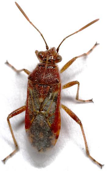Hyaline Grass Bug? - Liorhyssus hyalinus