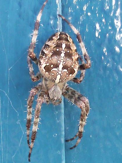 Cross Orbweaver - Araneus diadematus - Araneus diadematus