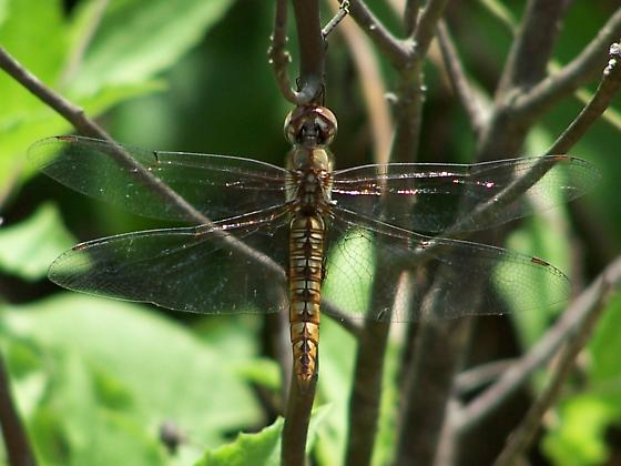 What Type? - Pantala hymenaea