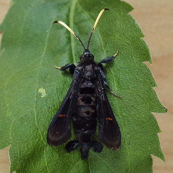 Sesiidae: Albuna fraxini - Albuna fraxini - female