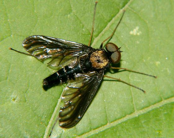 Large Black+Gold fly - Chrysopilus thoracicus