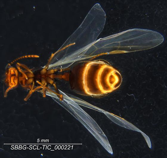 Formicidae