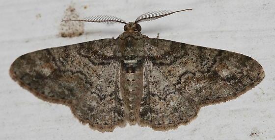 Moth - Cleora sublunaria - male
