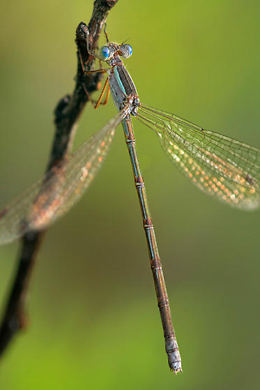 Blue-Ringed or Paiute Dancer? - Lestes alacer - female