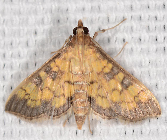 Diacme elealis - Paler Diacme Moth - Diacme elealis