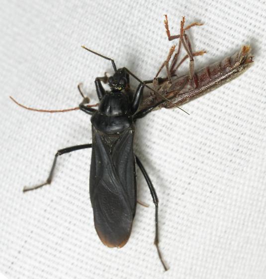 black bug with prey - Melanolestes picipes