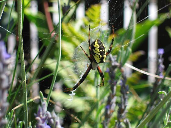 black and yellow spider - Argiope aurantia