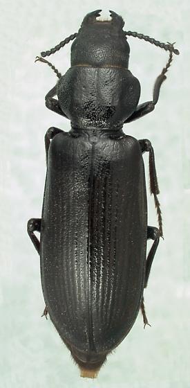 Lecontia discicollis (LeConte) - Lecontia discicollis