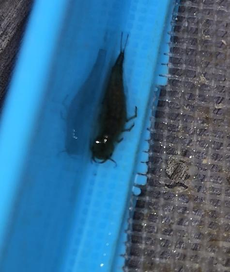 Water insect