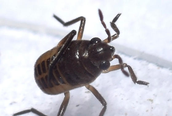 Riffle Bug