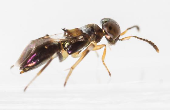 Wasp - Cheiloneurus - female