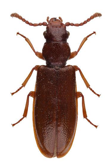 unknown  - Priognathus monilicornis