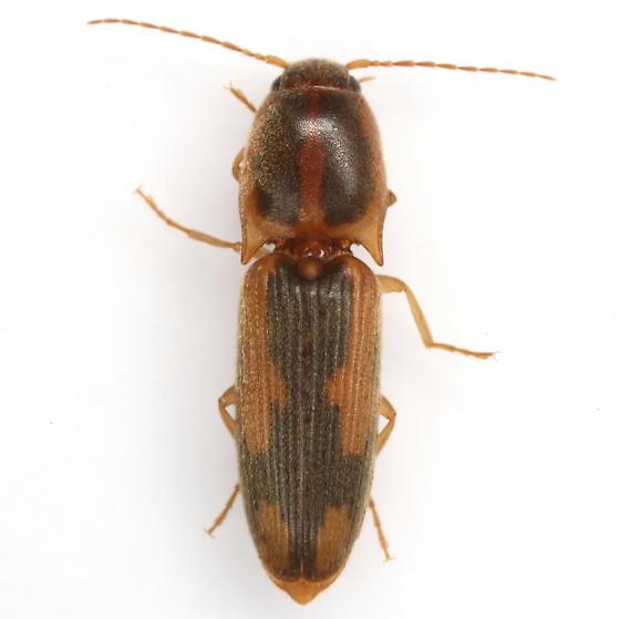 Conoderus vespertinus (Fabricius) - Conoderus texanus