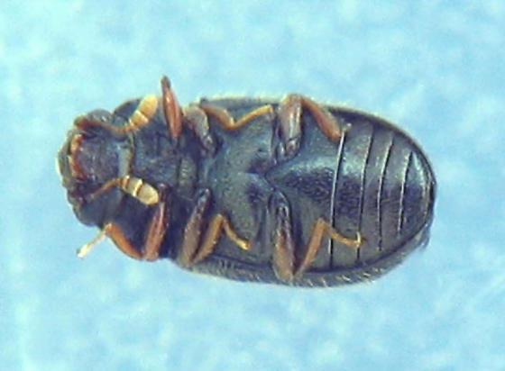 Slime mold beetle - Sphindus americanus